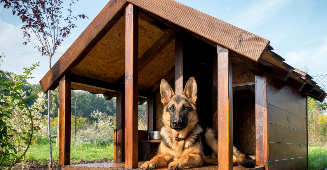 A German Shepard sitting in their backyard dog house for shade and shelter.