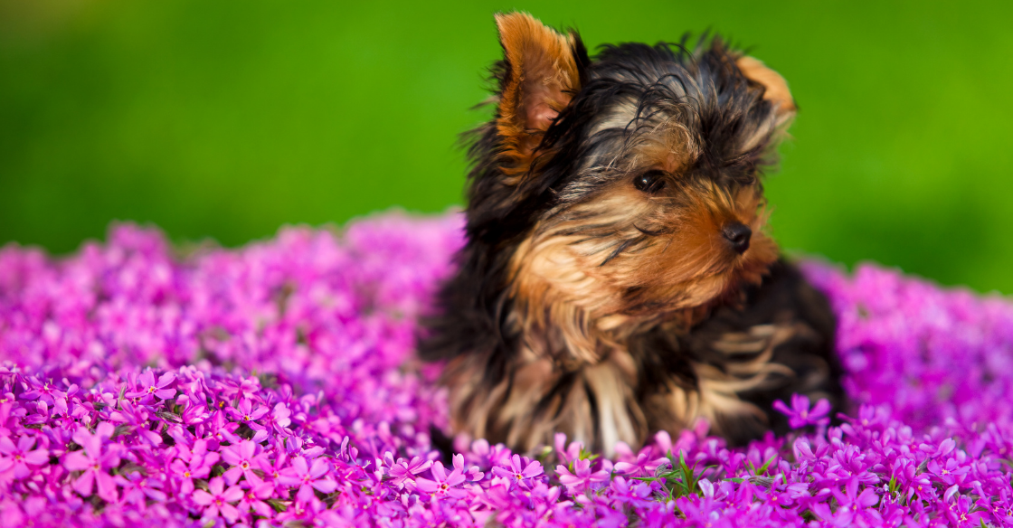 A Yorkshire Terrier sitting with dog-friendly plants.
